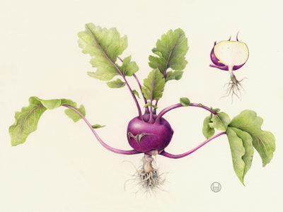 Wendy_Hollender_Kohlrabi-Brassica-oleracea-optimized