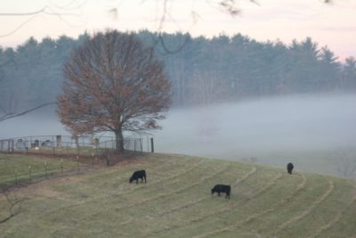 Bruce's cows and mist