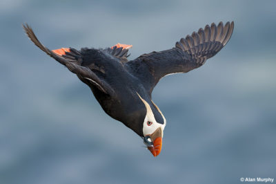 Tufted Puffin © Alan Murphy