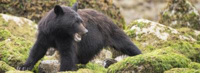 male black bear in tofino