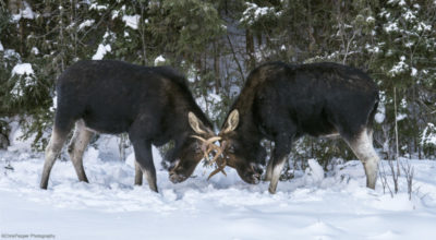 two moose in Algonquin park