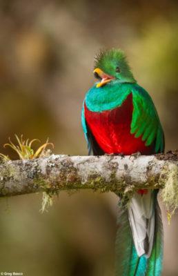 Quetzal © Greg Basco