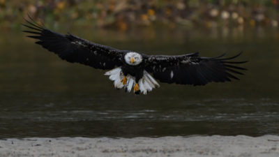 Bald Eagle Landing on an island in the Fraser River - Bald Eagles and More Photo Workshop
