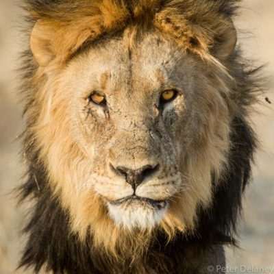 Portrait of Kalahari Lion