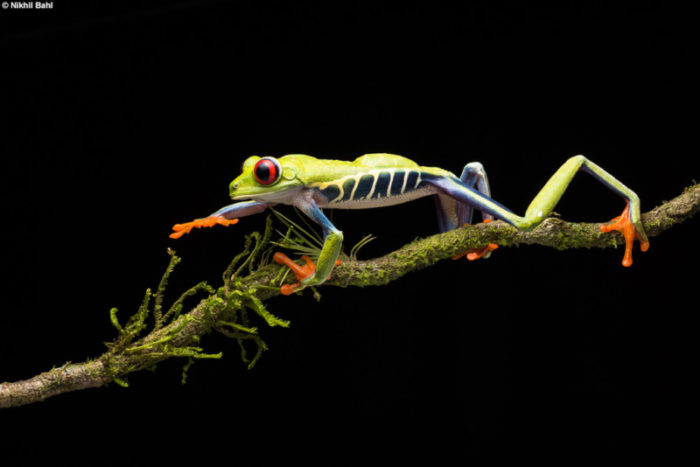 Costa Rica Frog on a Branch © Nikhil Bahl