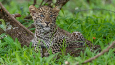 Leopard Cub on Jeff Wendorff and Wildlife Workshops Private Kenya Photo Safari