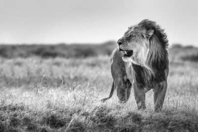 Africa Photo Tour, black and white lion picture showing the lion from the side