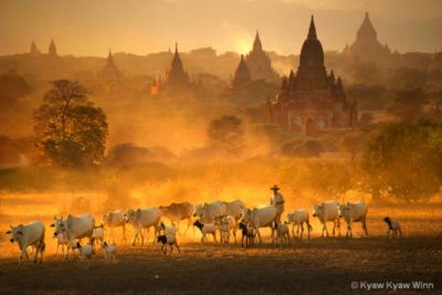 Bagan temples with cattle by Kyaw kyaw Winn