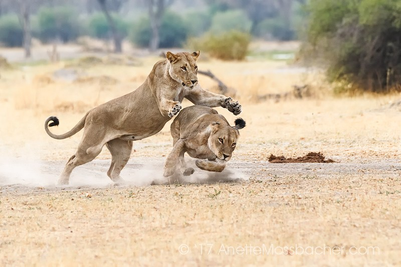 Photo Tour Botswana, two lions play catch, one lioness jumps on the other animal