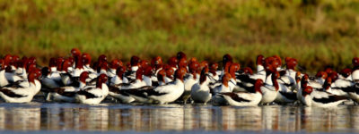 Red-necked Avocets Stockton Sand Spit