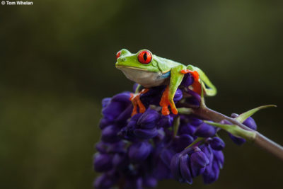 Red-eyed tree frog on flower © Tom Whelan