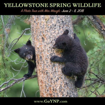 Yellowstone Spring 2018 Wildlife Photo Tour with Max Waugh