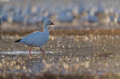 Arctic Goose, Bosque del Apache © Nikhil Bahl