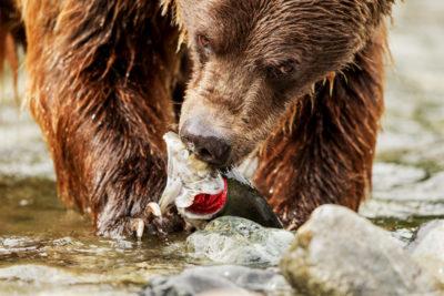 Grizzly with Salmon Sashimi