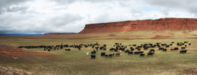 Moving cattle along the Red Wall