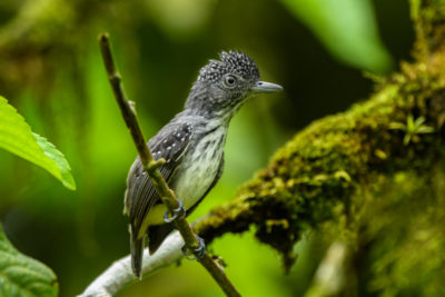 Spot-crowned Antvireo from the Neotropical Birds and Wildlife of Panama photography workshop with Wildlife Workshops.