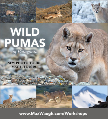 Pumas of Patagonia photo tour with Max Waugh