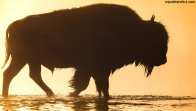 Travel-Photography-Tripod-Travelers-Bison-Buffalo-fog-(1 of 1)