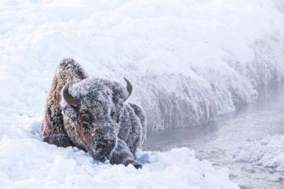 Yellowstone Winter 1499